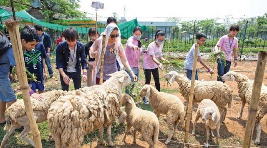 Cho cừu ăn tại nông trại